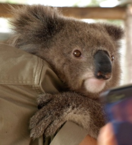 Koala Bear: Bree, 7 months old. Hunter Valley Zoo, 2012.