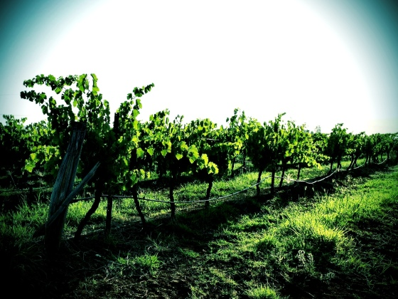 Hunter Valley grapes © Life Love and Yoga 2013