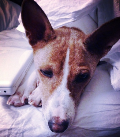My beautiful boy Basenji, Red. ©LIfeLoveandYoga.com